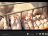 母猪产仔时间太长有这么多危害!
