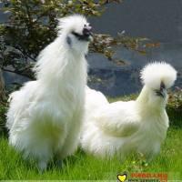 商品乌鸡的饲养管理