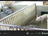 夏天到了,如何建设猪舍和猪场消毒?