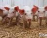 正确认识猪的营养特性和必赢登录要求