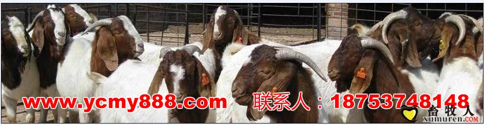 qq牧场萨福克绵羊
