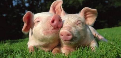 NRC估测生长肥育猪氨基酸需要的方法