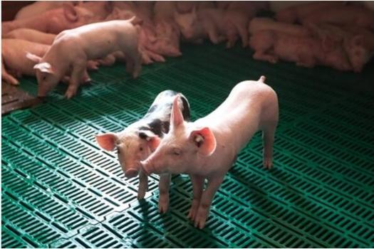 提高仔猪断奶后的生长性能(原创)
