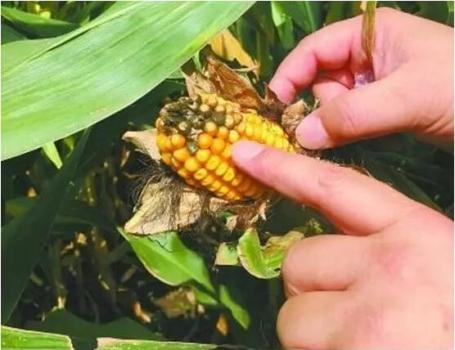 警惕2016年新玉米的黄曲霉毒素问题