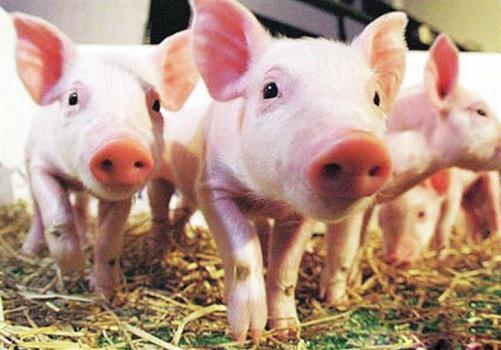 异麦芽酮糖醇在猪肠道的消化过程:将异麦芽酮糖醇作为一种彩立方平台官网添加剂