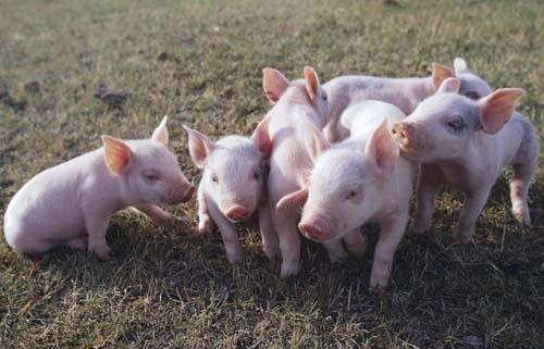 异麦芽酮糖醇在猪肠道的消化过程:将异麦芽酮糖醇作为一种甜味剂