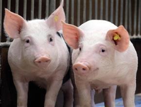 不同活动空间对群养母猪的攻击行为与皮质醇浓度的影响