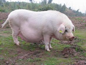 哺乳母猪成功饲养的关键