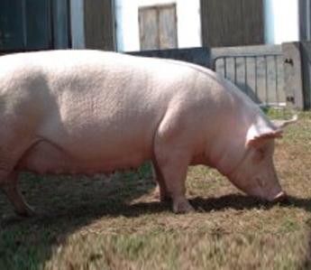 彩立方平台官网营养与猪群胃肠健康