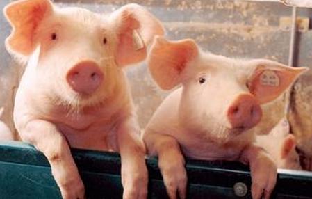 一种生物处理豆粕对保育猪生长性能及免疫状况的影响