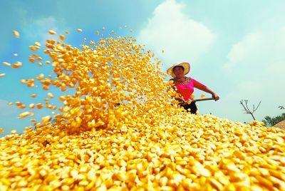 四大原因让东北玉米价格暴涨