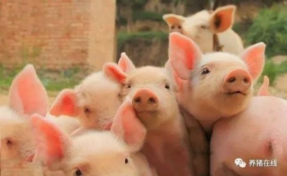 营养才是猪抗病力的物质基础和根本!