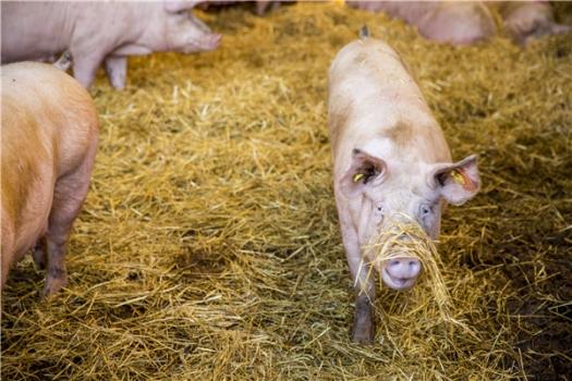 全球趋势:消费者希望超市提供高福利猪肉