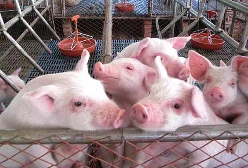 温氏、牧原、天邦5月生猪售价环比上涨,机构后市猪价预测现分歧!