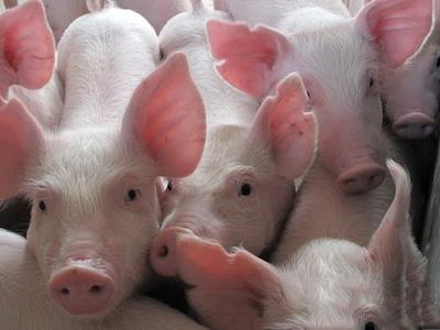短期猪价主线稳定,局部窄幅调整