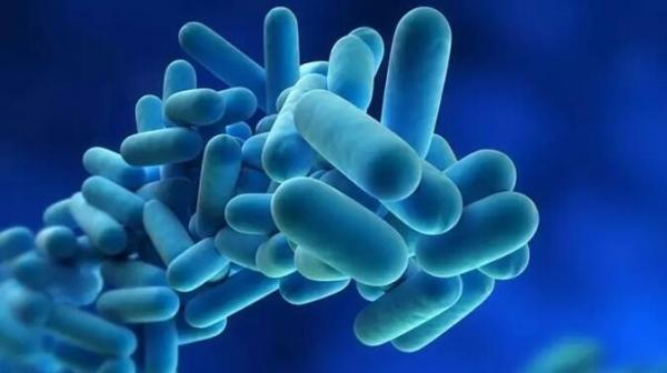 复合益生菌发酵液对哺乳母猪生产性能、血清生化及免疫指标的影响