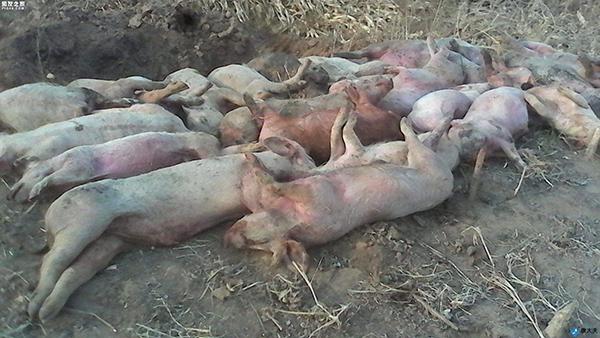 六年时间根除非洲猪瘟!巴西的7点经验可以复制