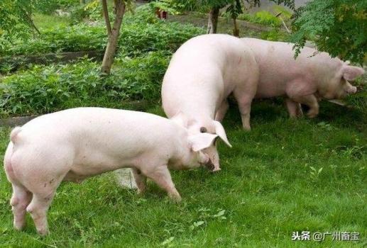 养猪生产中常用术语及意义