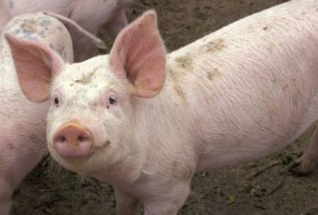 5月能繁母猪、生猪存栏加速下降,下半年猪价高点或再抬升