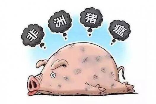 感染非瘟后存活的猪并不会长期带毒!99天后能完全控制和消灭病毒!
