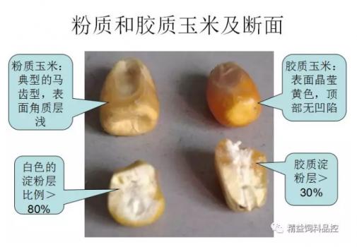 禽料玉米VS猪料玉米的筛选与品控
