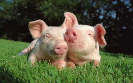 各国抢占中国市场,猪肉进口大涨50%!