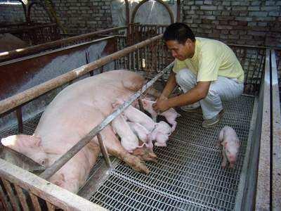 """母猪""""分娩与接生"""",新老养猪人的同一困惑丨细节7要点"""