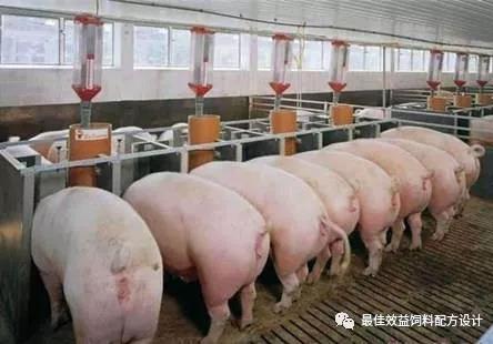 高产哺乳母猪的基础营养与饲养研究