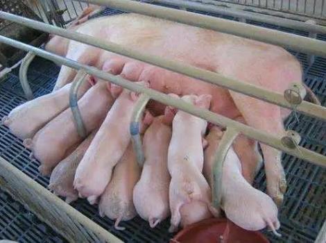 夏季母猪产前产后饲养管理SOP
