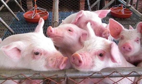 影响猪产仔数与出生重四大因素
