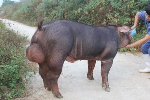高温对公猪精液品质的影响及预防措施