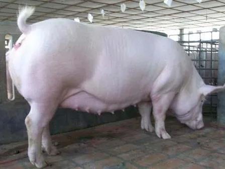 膘情越好的妊娠母猪越容易猝死,死亡率80%,是什么原因导致的?