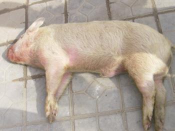 猪链球菌病知识问答