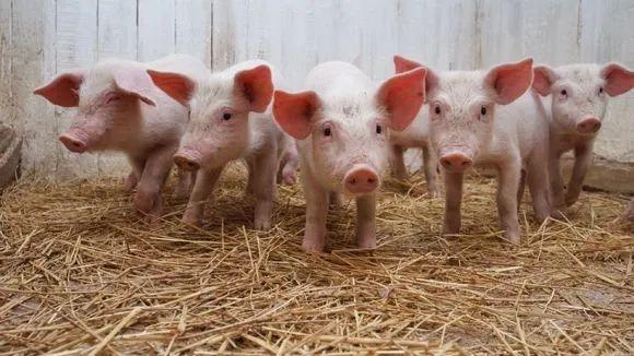 2500元/头,仔猪卖到成猪价!新华社:散户警惕养殖成本过高,切莫盲目抢猪