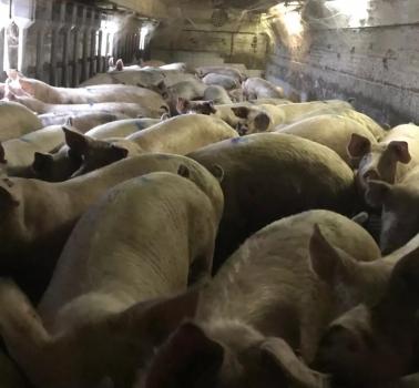规模猪场数据收集与分析