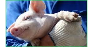 断奶猪肠道健康的氨基酸需求(上)