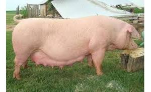 积攒很久的养猪资料