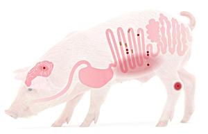 生长猪饲喂低蛋白日粮的理想回肠苏氨酸:赖氨酸之比