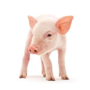 生长猪日粮中一种新型大豆浓缩蛋白和豆粕的能量、氨基酸和磷的消化率