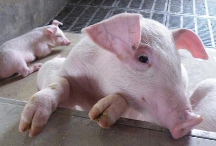 【猪】第六十四期:日粮中钙与磷对用限位饲养和群养母猪繁殖性能和骨代谢标志物的影响