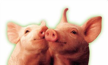 热应激会影响猪对日粮脂肪的利用吗?