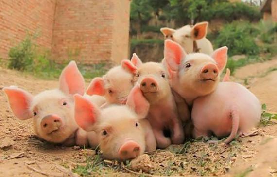 复合碳水化合物酶对断奶仔猪生长性能、消化率、血液组成等影响