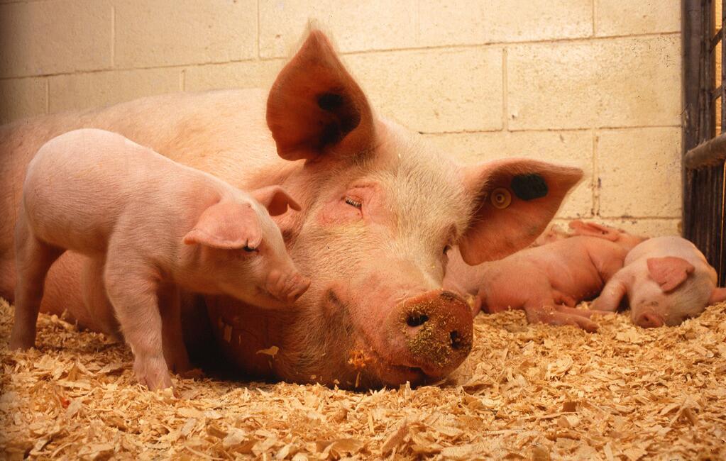 母猪妊娠期间胎儿、胎盘和子宫氨的氨基酸组成