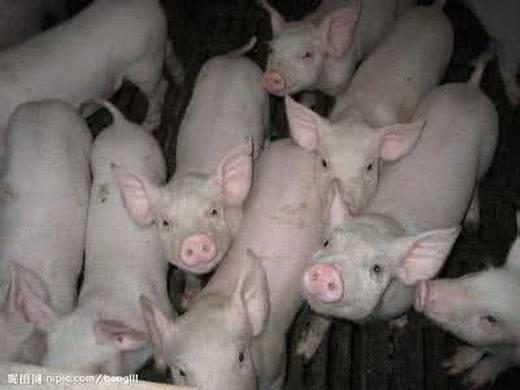 第112期:生长猪免疫系统激活后对葡萄糖的需要量