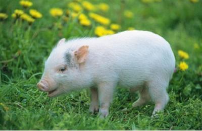 中链和长链脂肪酸甘油酯在新生仔猪中的适用剂量研究