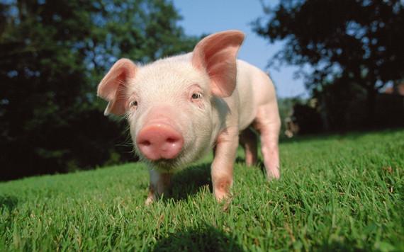 哺乳日粮中添加玉米豆粕混合发酵原料对母猪和仔猪的生产性能的影响