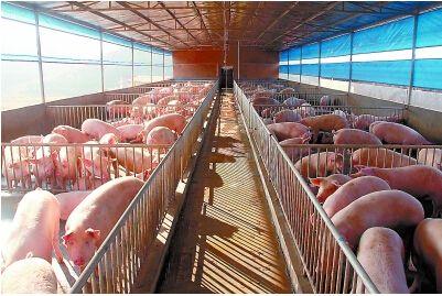 万头猪场的设计:猪群结构和猪栏数量